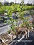 深圳藍金藍莓苗繁育基地