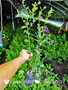 清遠紅利藍莓苗種植技術
