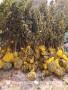 0.6公分粗红酥脆梨树苗-阿勒泰地区红酥脆梨树苗这里卖