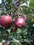 雙8晉蜜梨樹苗-德陽晉蜜梨樹苗哪里能買到真品種