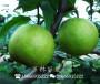 黃花梨樹苗管理辦法有哪些中衛育苗基地