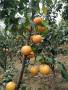 鸡西0.5公分粗早酥全红梨树苗几年可以挂果