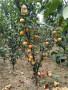 泰安0.6公分粗梨樹苗新價格