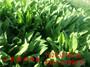 头条泰州市护坡适合用高羊茅草种子好吗 护坡草种子厂家#