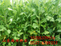 長白山哪里賣高速公路邊坡上種的草籽多少錢一公斤草種子公司#