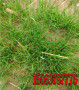 大連適合種植的綠化草小區綠化的草怎樣種甘肅定西高羊茅1平方需多少草籽