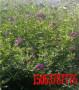 路塹邊坡草帶綠化種在綠化帶里的花