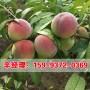 快訊邯鄲哪里賣成品桃樹苗報價