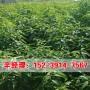 今日报价:承德大量出售1公分桃树苗移栽管理
