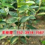 今日报价:新密大量供应2公分日本斤柿子树苗价格表