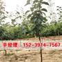 今日報價:個舊去哪買成品梨樹苗種植基地