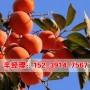 今日報價:禹州周邊哪賣甜脆柿樹苗價格