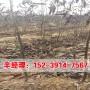 今日報價:湖南哪里銷售香玲核桃樹苗@栽培技術