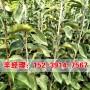今日報價:仙桃哪里出售秋月梨梨樹苗基地報價