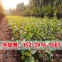 今日价格:孟州晚熟柿树苗苗圃
