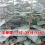 今日價格:三門峽2公分八月黃柿子樹苗價格咨詢