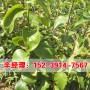 今日價格:汝州晚熟梨樹苗2020價格