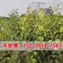 今日价格:开封红香酥梨树苗价格表
