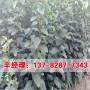 今日价格:南阳新东阳柿树苗现挖现卖