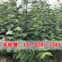 今日價格:沁陽4公分柿樹苗培育技術