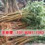 今日報價:鄭州哪里銷售成品桃樹苗
