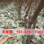 今日报价:商丘出售中桃6号桃树苗-明辉苗木