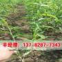 今日價格:禹州8公分桃樹苗價格表