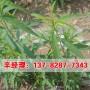 今日价格:辉县成品桃树苗种植管理