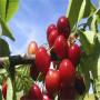 晓文樱桃一年生苗哪里价格低