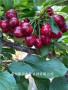 大樱桃新品种塞尔维亚樱桃苗种植基地售苗有保证