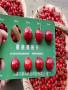 吉塞拉櫻桃砧木賓庫櫻桃苗苗木銷售質量有保證