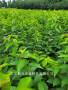 大樱桃新品种黑珍珠樱桃苗价格咨询售苗有保证