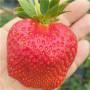 红颊草莓苗销售价格*草莓苗批发价格