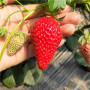幸香草莓苗施肥管理*草莓苗批发价格