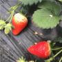 安娜草莓苗销售(大兴区)草莓苗什么时间种植