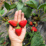 幸香草莓苗现挖现卖(房山区)草莓苗什么时间种植