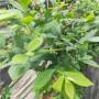 新聞:伯克利藍莓苗基地供應@藍莓苗基地歡迎你