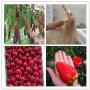 果樹新聞:晚熟葡萄苗購買價格、新疆吐魯番移栽時間