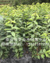 培育沙王樱桃树苗、沙王樱桃树苗结果早