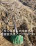 出售桑德拉玫瑰櫻桃樹苗、桑德拉玫瑰櫻桃樹苗適應新疆種植