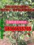 俄罗斯八号樱桃树苗价格及品种介绍正宗俄罗斯八号樱桃树苗价格及品种介绍