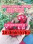 罗亚理樱桃苗价格是多少钱一棵矮化罗亚理樱桃苗价格是多少钱一棵