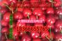 嫁接樱桃苗品种纯正价格是多少钱