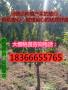 俄罗斯八号樱桃树苗基地价格哪里有俄罗斯八号樱桃树苗