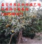 东方月神柿子树苗出售