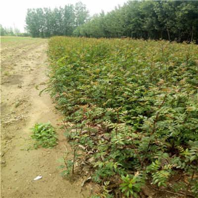 可用于布置花坛,马路隔写,疏林草坡等地被栽植,也适宜盆栽,是融观叶与
