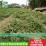 辽宁红油香椿苗、红油香椿苗保证品种