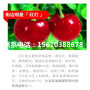 矮化櫻桃苗批發價位、矮化櫻桃苗供應商
