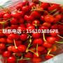 紅妃櫻桃苗供應價格、紅妃櫻桃苗價錢低