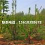 红艳樱桃苗价格多少钱、红艳樱桃苗销售基地